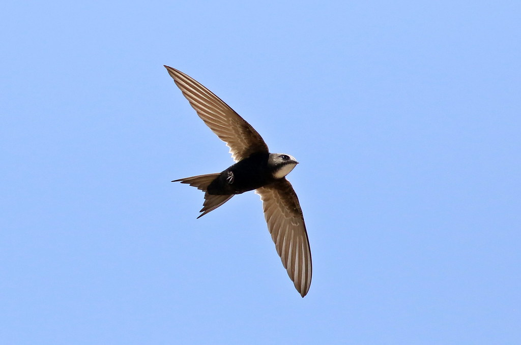 Flying swift in blue sky background