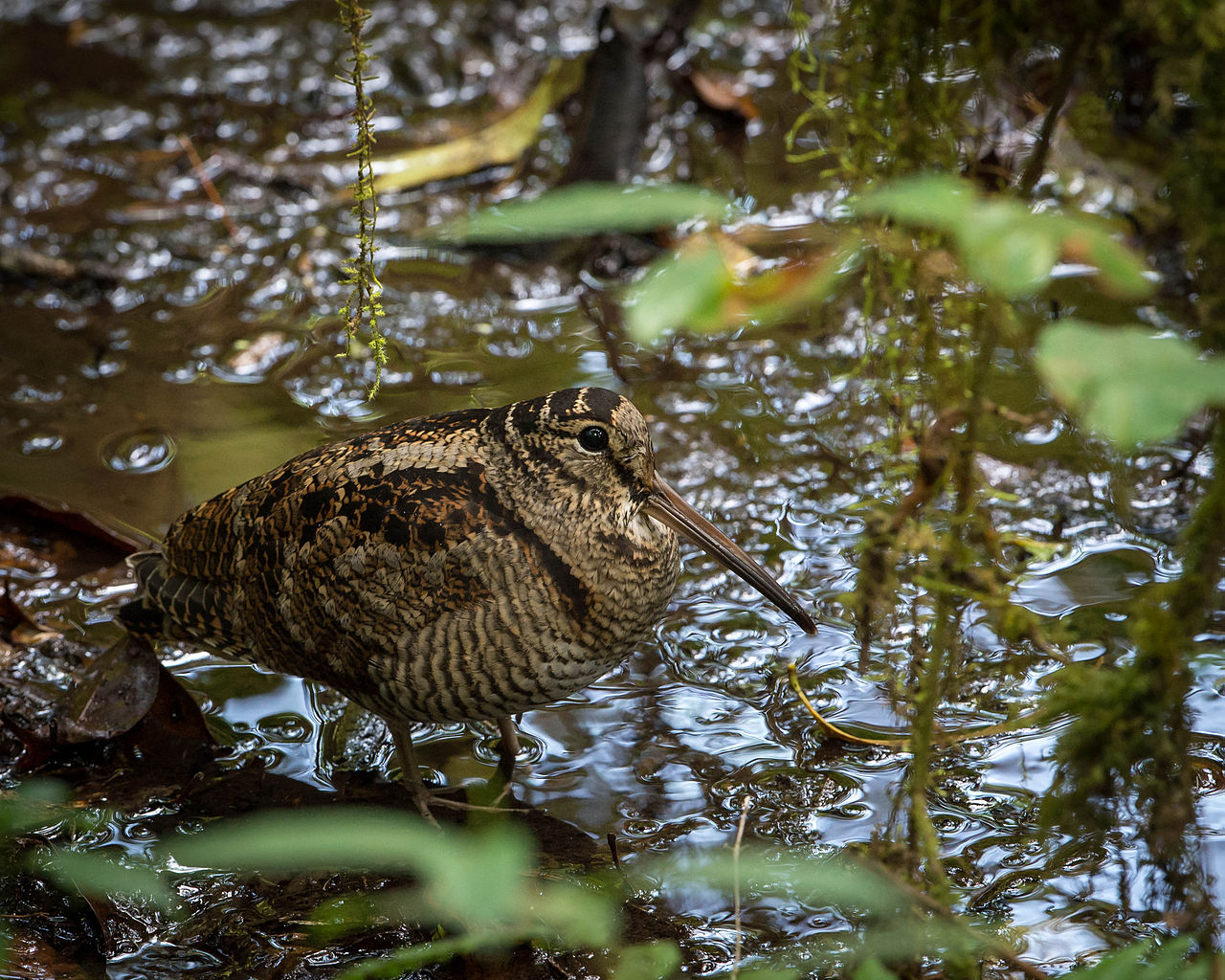 Eurasian woodcock standing near water in a wood