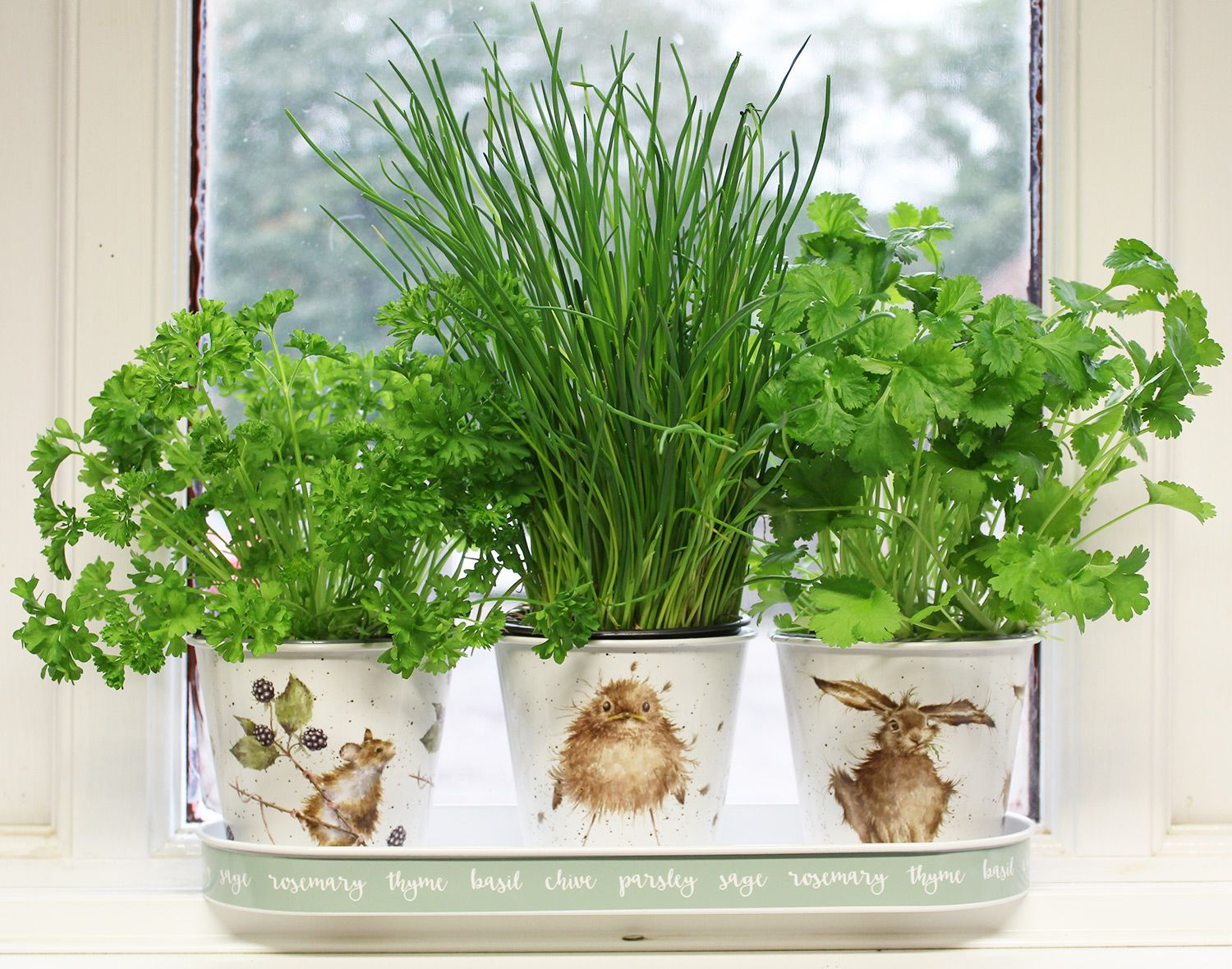 Three different herbs being grown in the Wrendale Herb Pots and Tray Set.