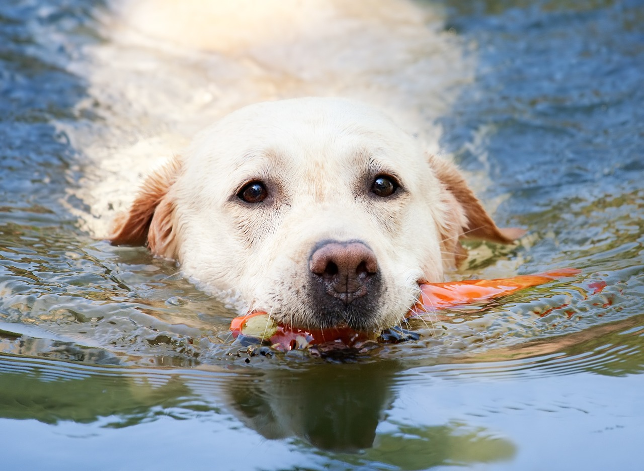 A labrador sundog