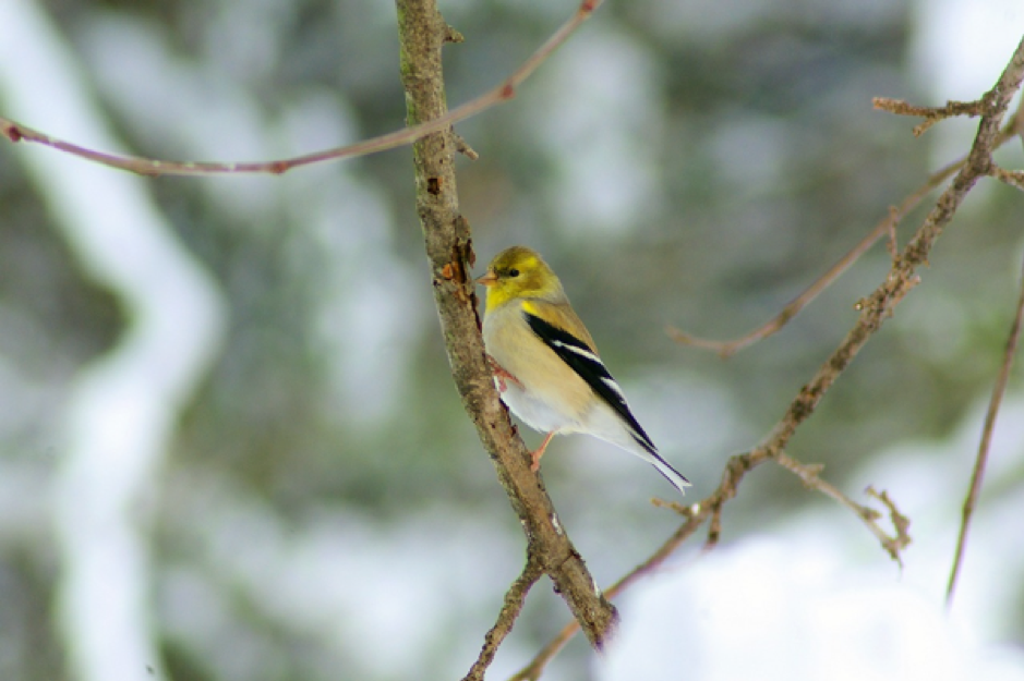 A goldfinch perched on a branch in winter.