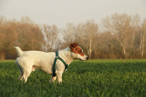 A Jack Russell standing a green field during a walk.