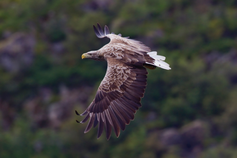 A White-Tailed Eagle flying across the countryside.