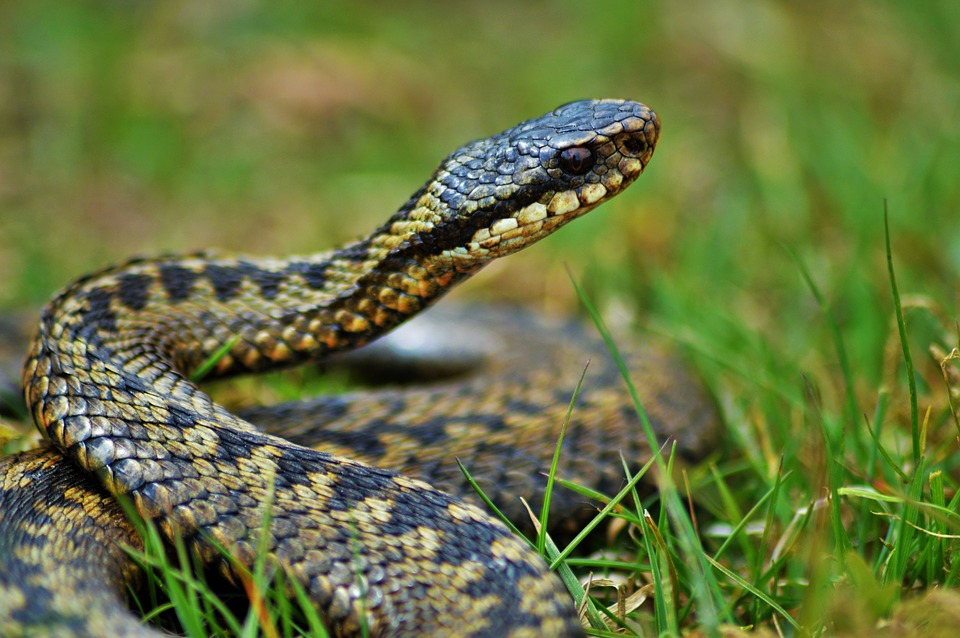 UK Snake Species - The Adder | Fur Feather and Fin