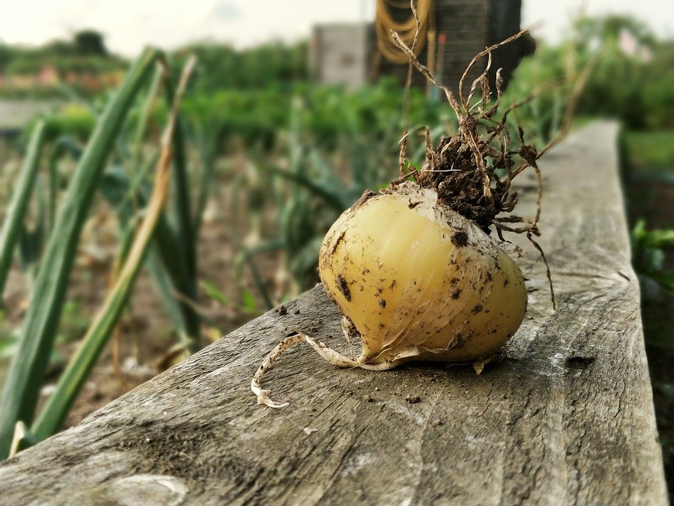 Onion on a wooden fence with more growing behind