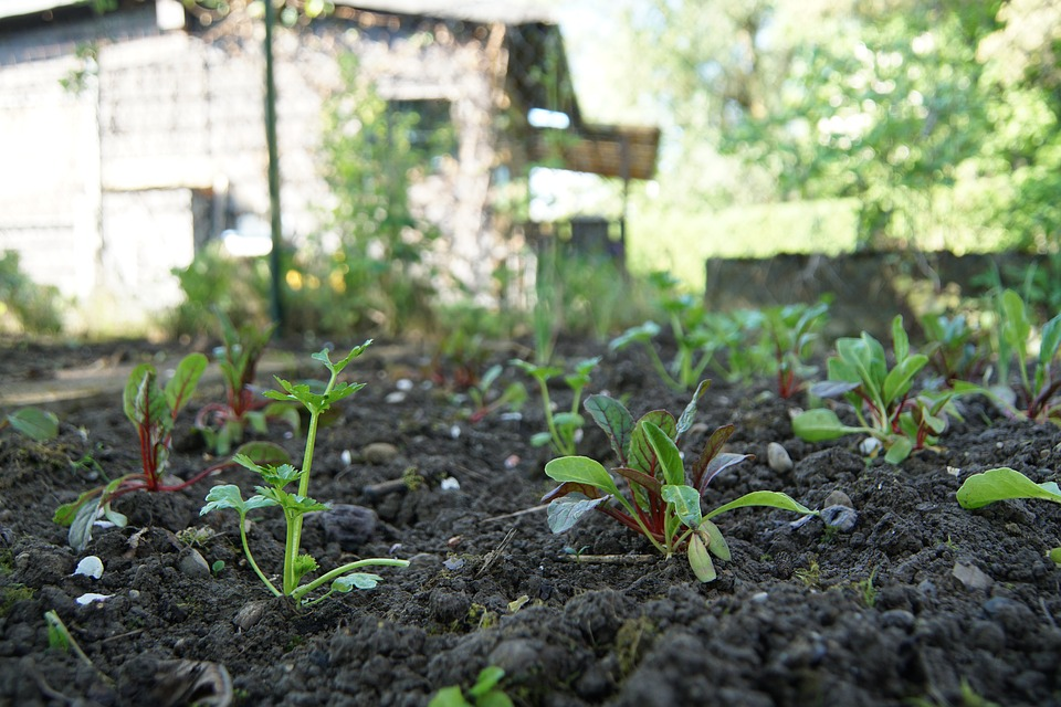 Shoots of a plant in an allotment