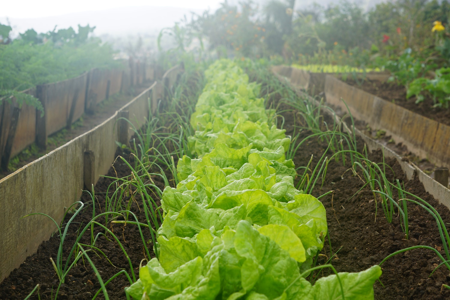 Row of lettuce in an allotment