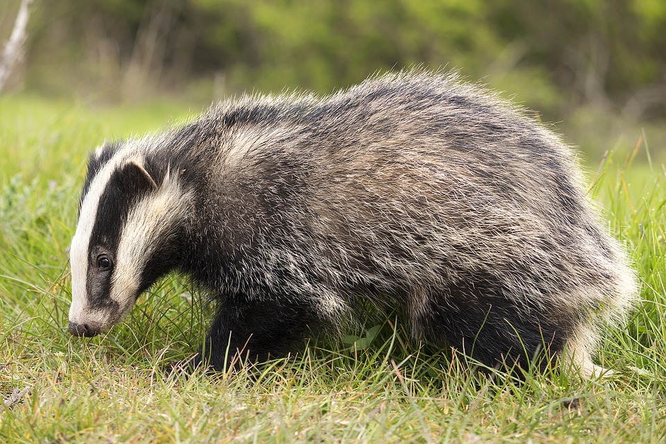 European badger in Britain