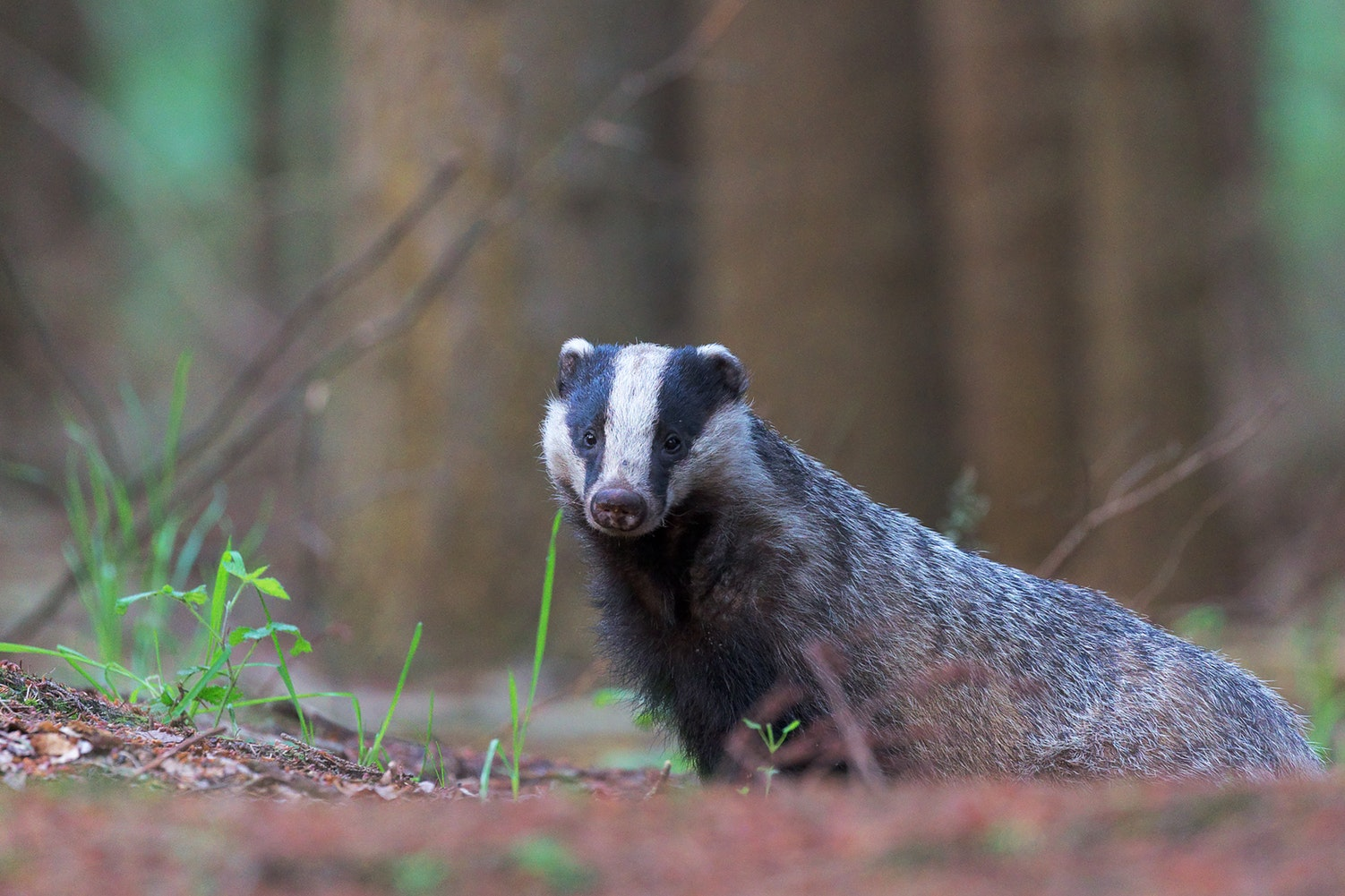A European badger in a wood looking at the camera