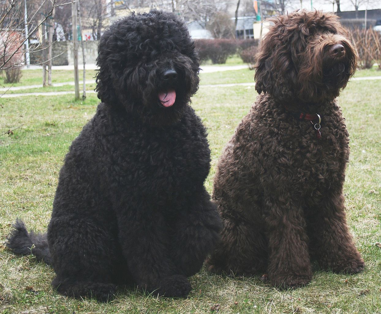 Two Barbet dogs sitting on grass