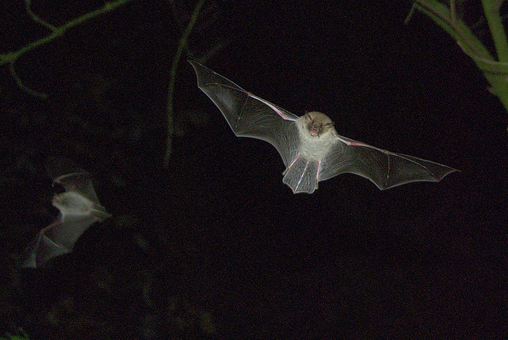 A Natterer's bat in flight