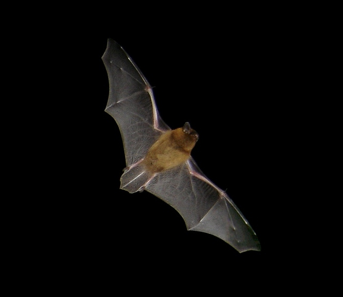 Common pipistrelle in flight