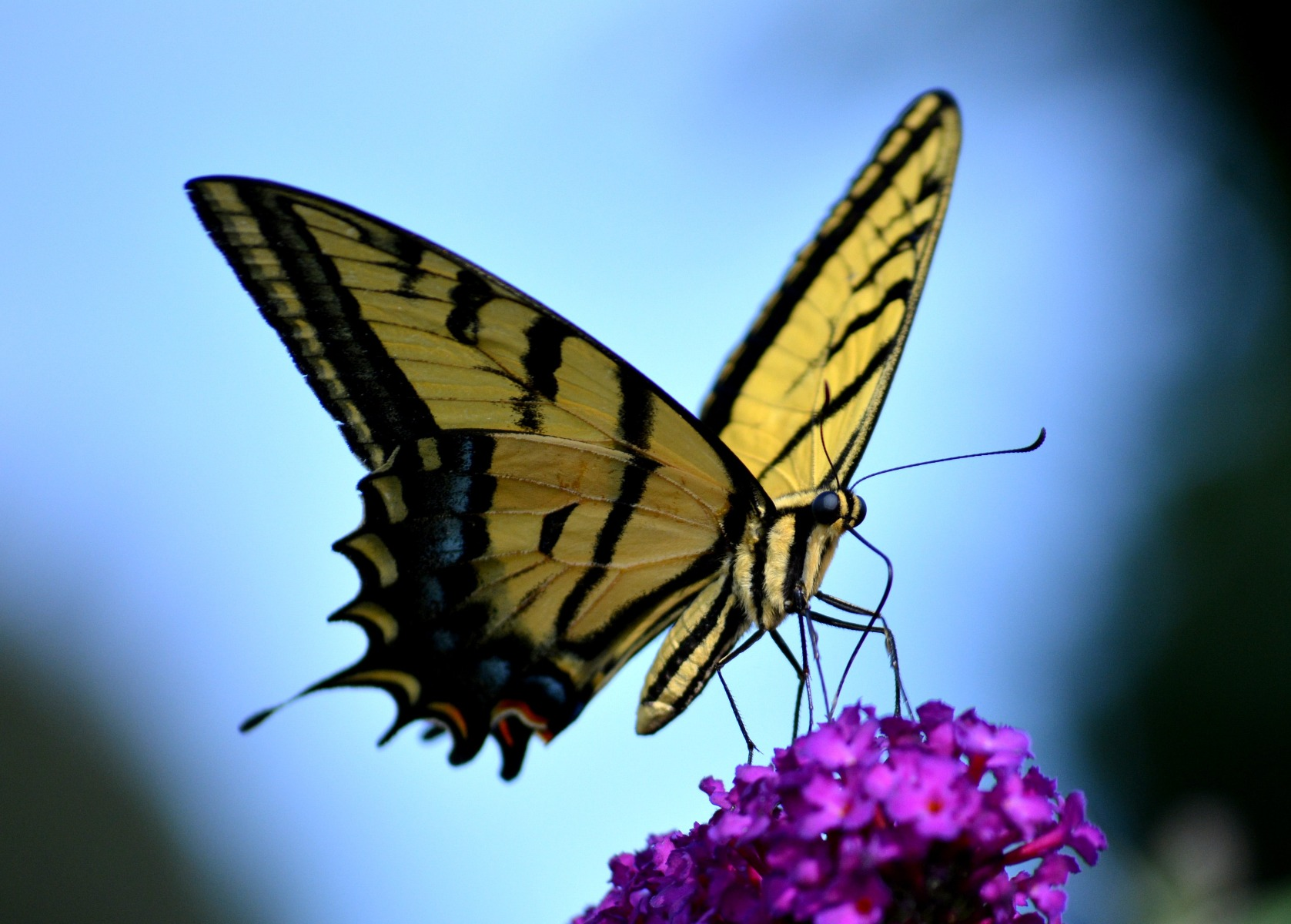 Black and yellow butterfly resting on pink flowers