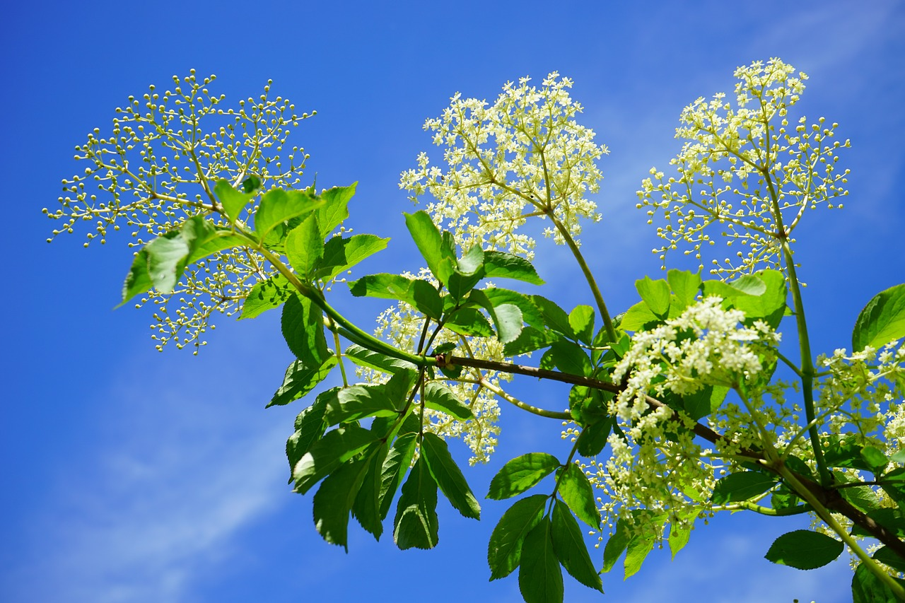 Elderflowers growing in the sunshine from the branch of an elder tree.