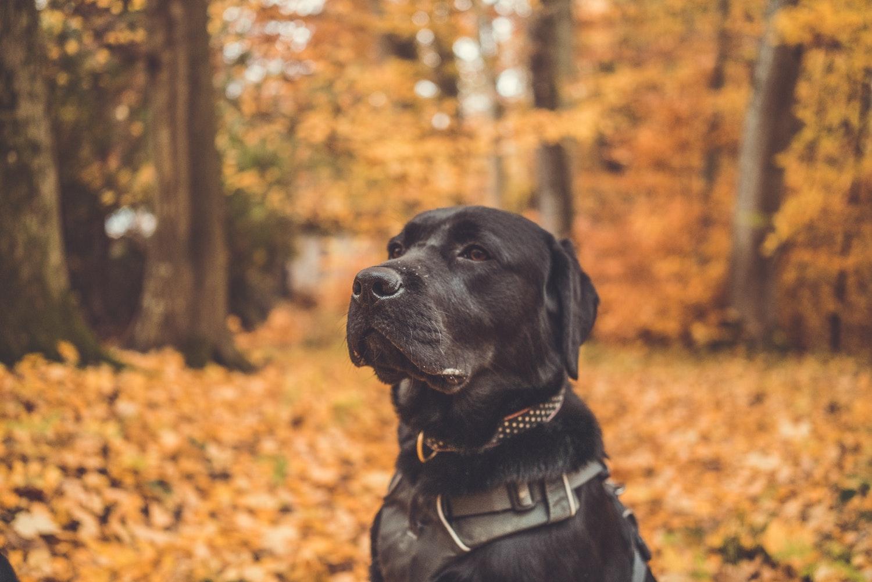black Labrador sitting in wood