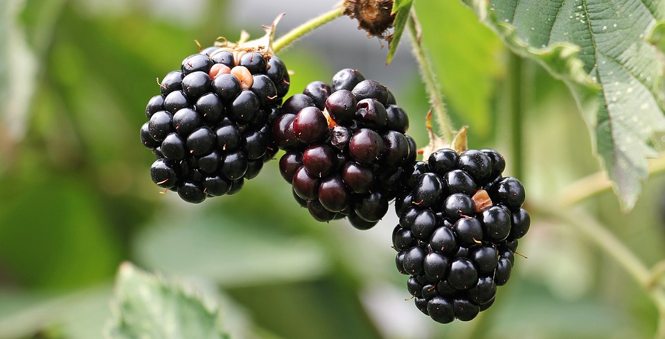 Ripe blackberries on a bush