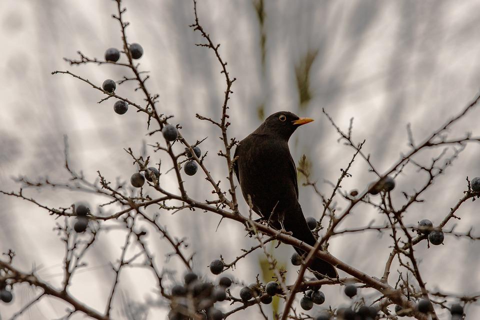 A blackbird on a blueberry bush