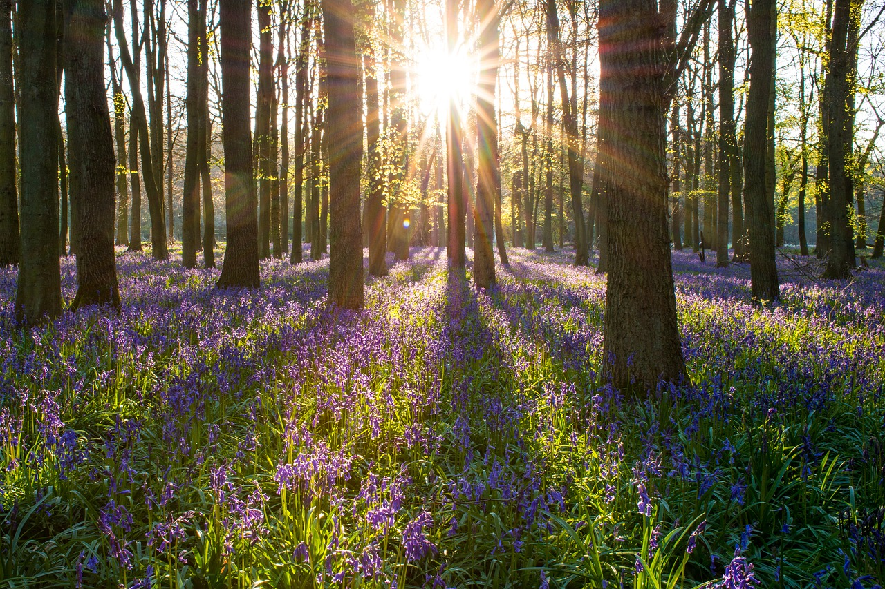 The sun shining through some woodland into bluebells