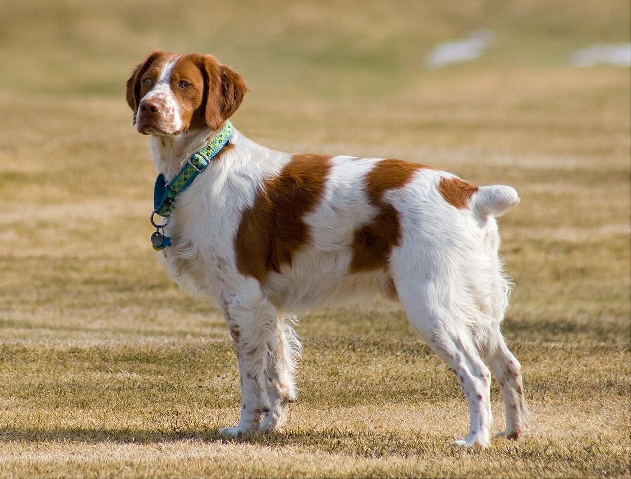 A brown and white Brittany standing in a field.