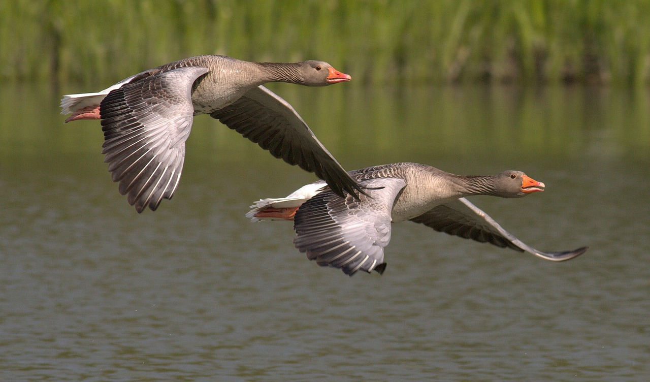 Two Greylag Geese flying over a river