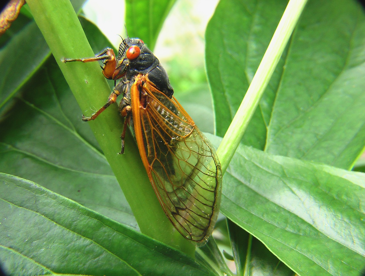 A cicada perched on a green stem of a plant.