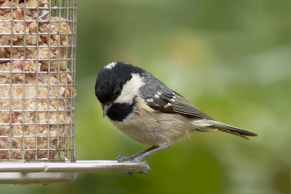 A coal tit at a bird feeder