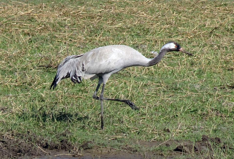 A common crane walking