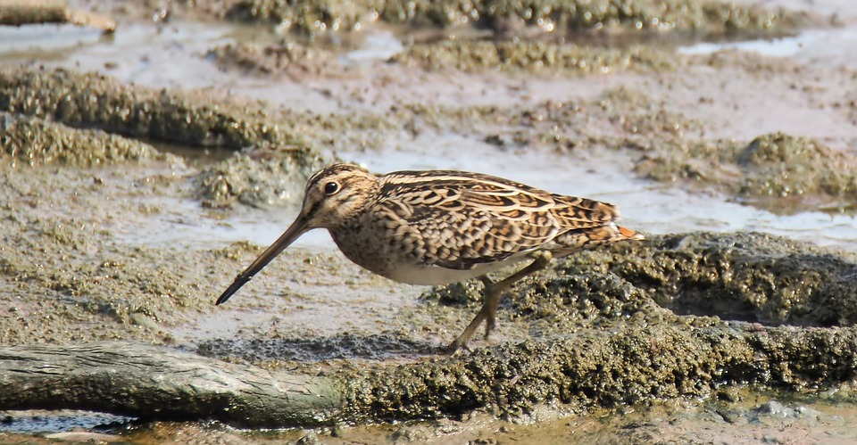 A common snipe looking for food
