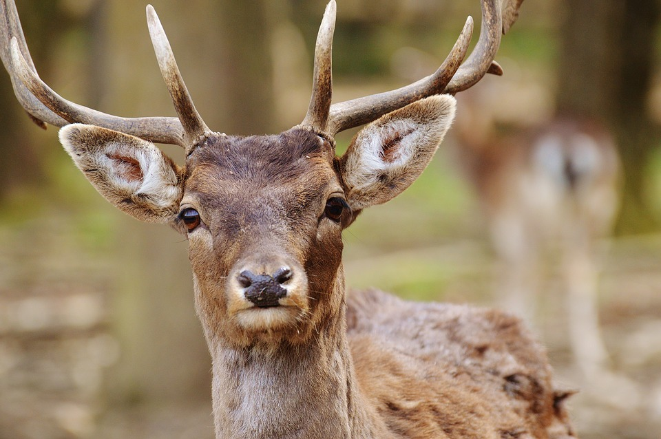 Close up a deer with antlers