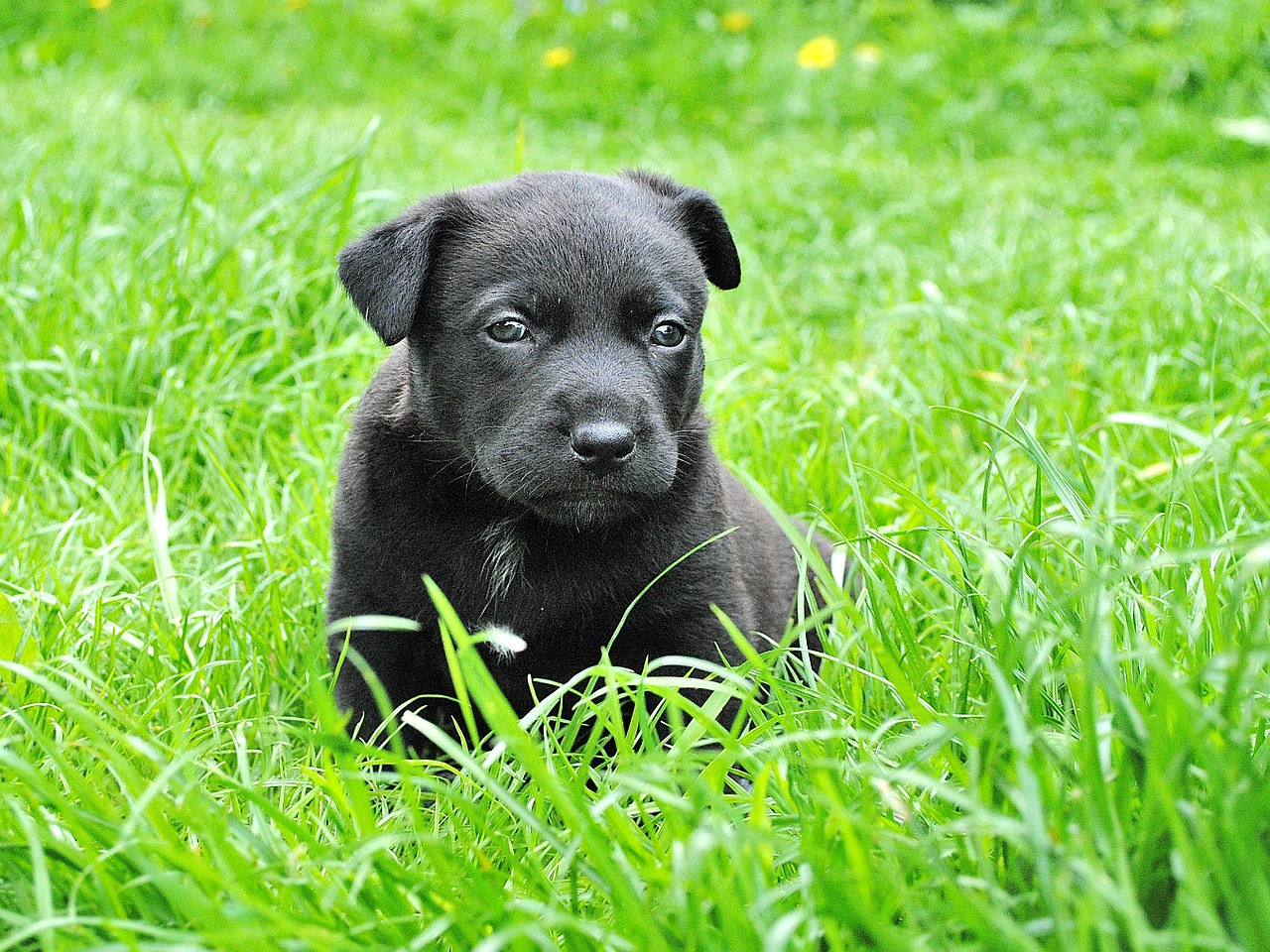 A black Labrador puppy sitting in some grass in a field.