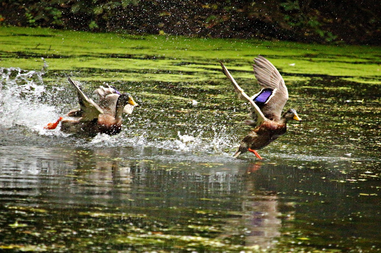 Ducks running on water as they are disturbed
