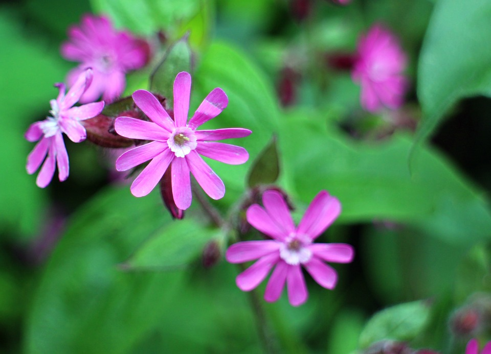 Pink petals on a red campion flower