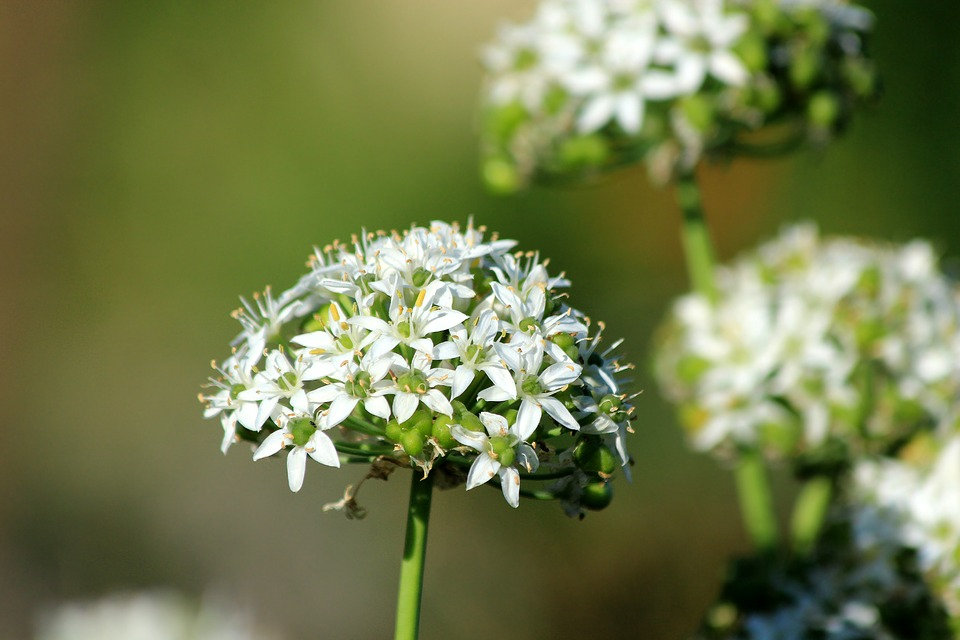 White flowers of ramsons