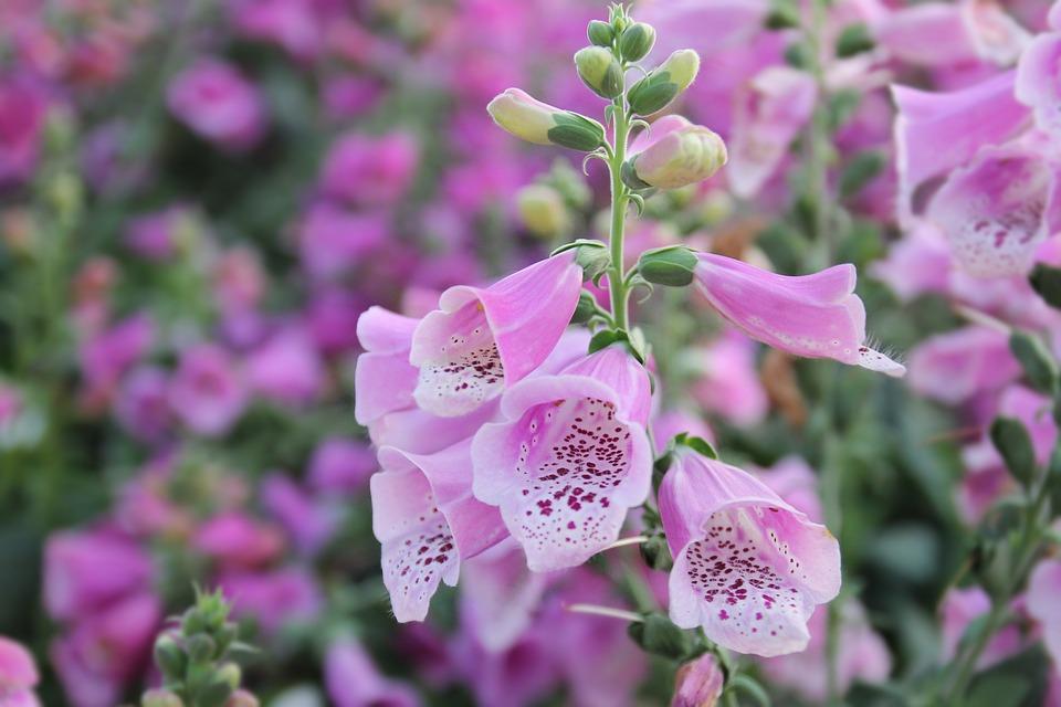 A pink foxglove flower