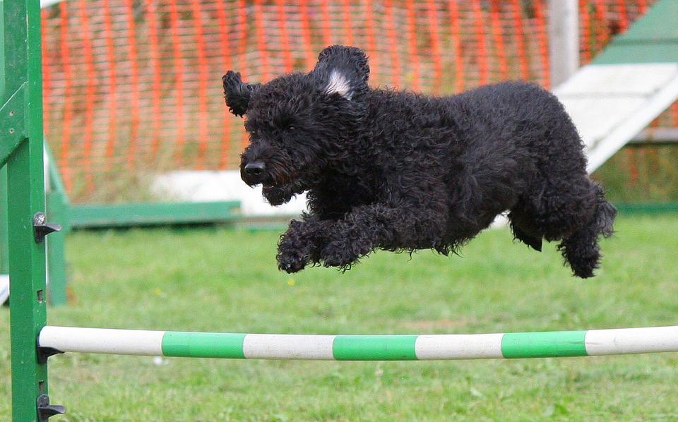 Dog doing an agility test