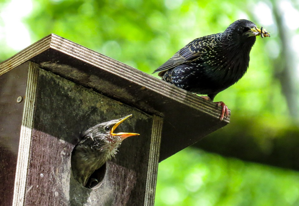 Starlings in a nestbox
