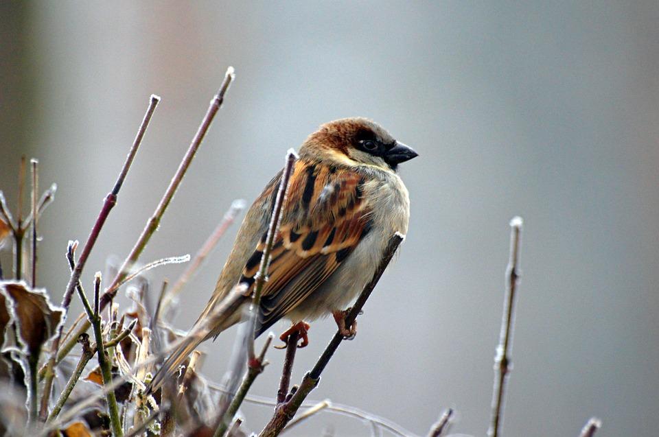 A male sparrow on a bush
