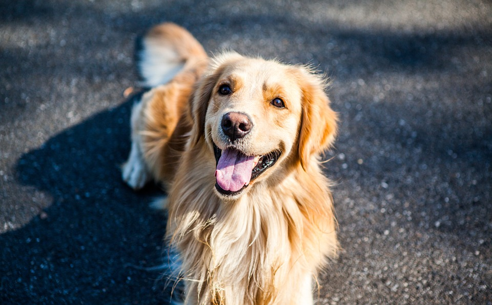 A golden retriever looking at the camera