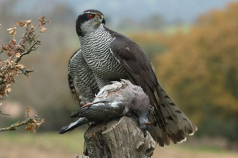 Use birdwatching binoculars when looking for goshawks
