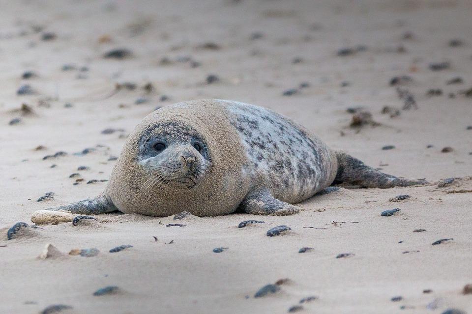 Grey seal on a beach