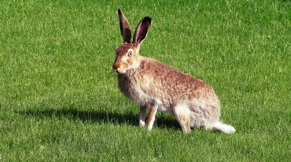 European hare in the UK