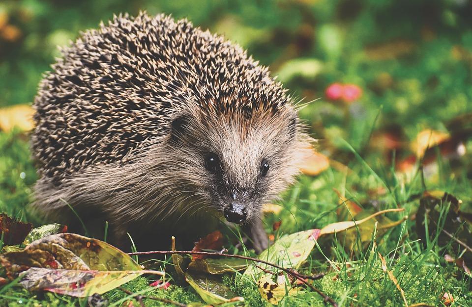 A hedgehog in leafy grass