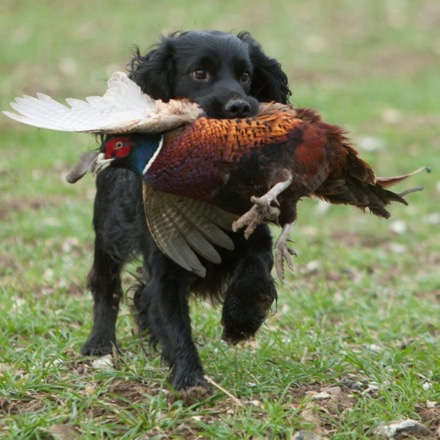 A black spaniel gundog picking up a pheasant in the field.