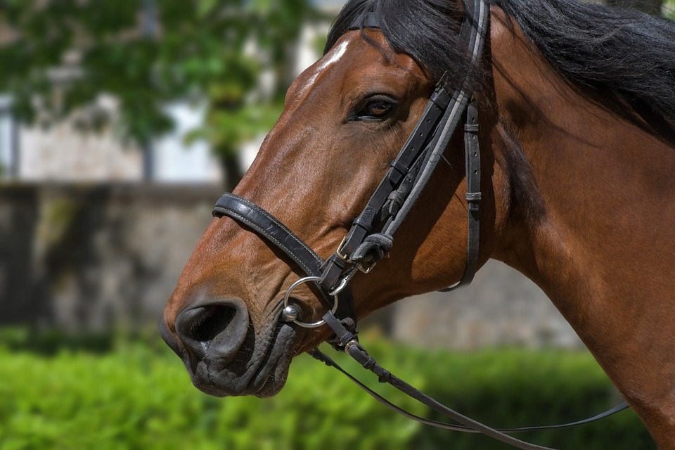 Horse in a bridle