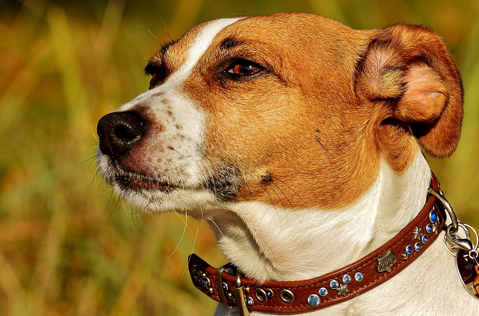 A Jack Russell with a brown and white face.