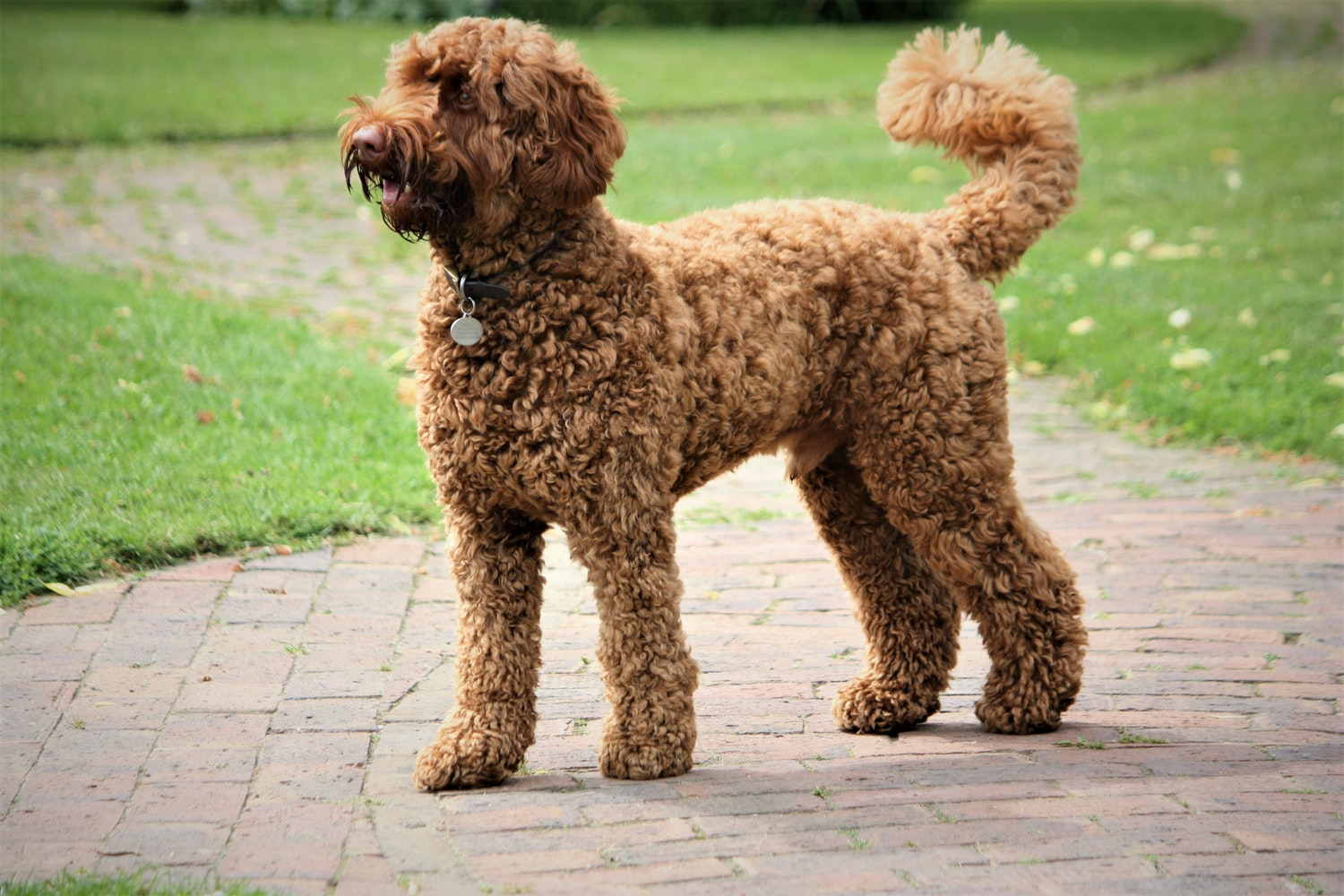 Labradoodle standing on a path