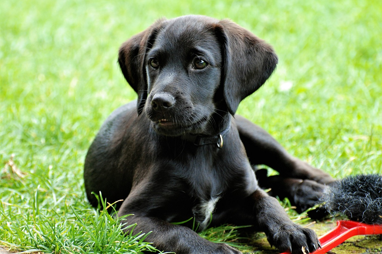 A black labrador puppy laying the grass with a toy.