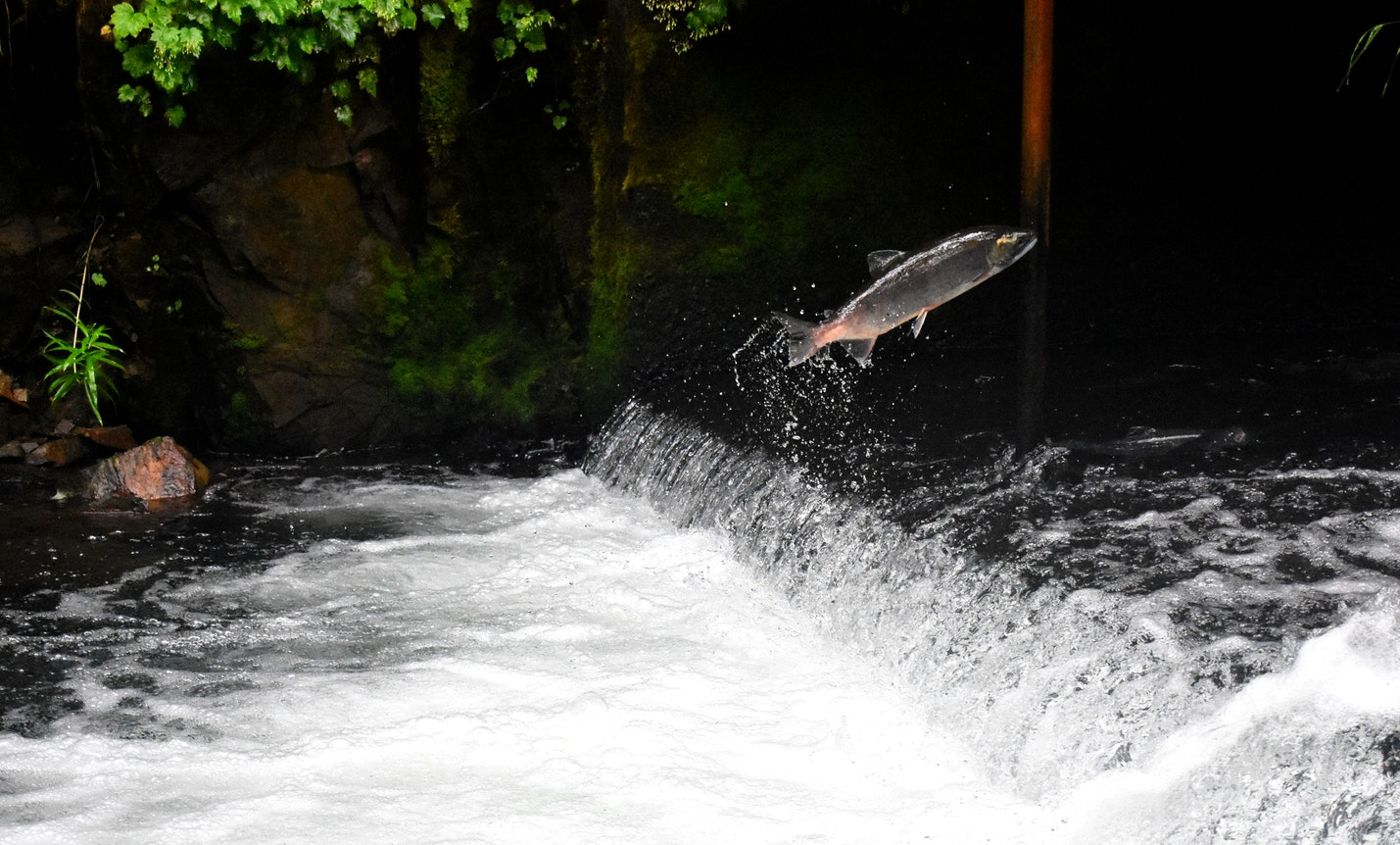 A salmon jumping a waterfall in Scotland
