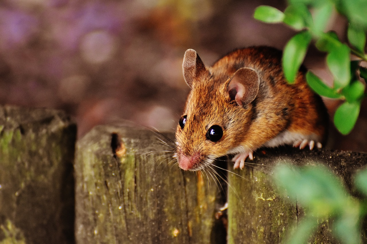 A hazel dormouse perched on a wooden post under some leaves in a wooded area.