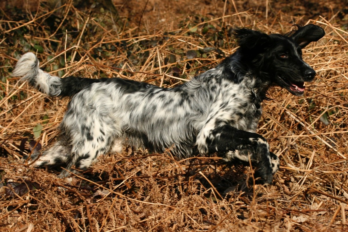 Large Munsterlander gundog
